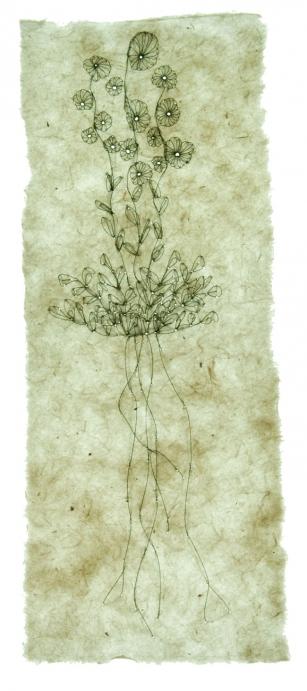 http://www.jennabonistalli.com/files/gimgs/th-9_5L_Compass-Plant_v2.jpg